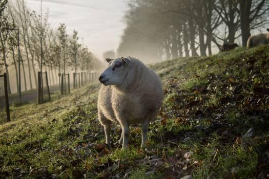 Sheep Lamb #409010