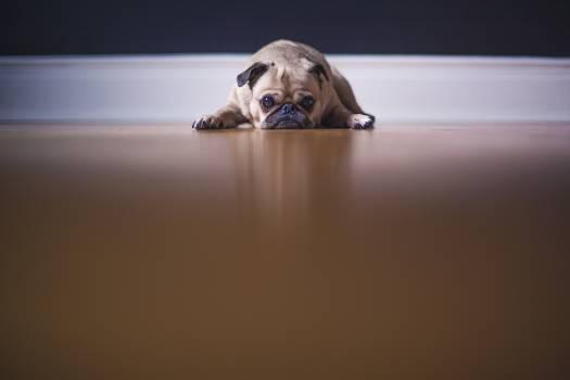 Pug Dog Free Photo #409040