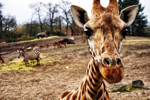 Giraffe Head #409065