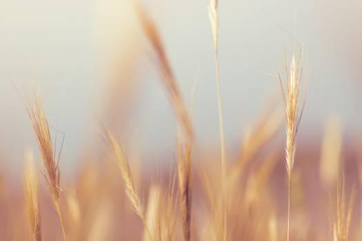 Wheat Crop Farmland Blur Free Photo #409097