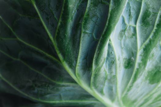 Lettuce #409191