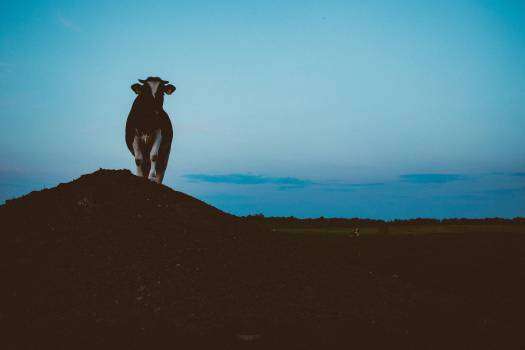 Cow Pose Model Free Photo #409212