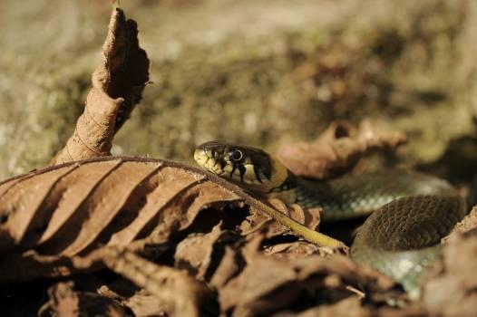 Natter Snake #409235