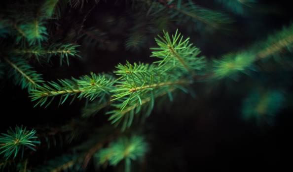 Pine needles #409236