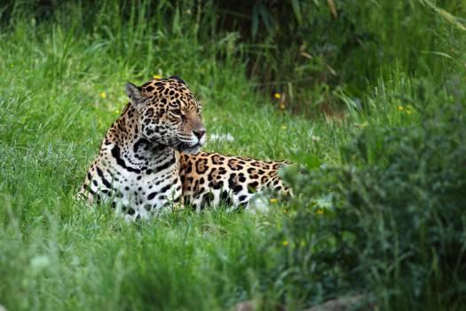Jaguar #409242