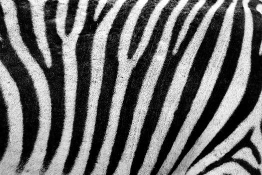 Zebra Texture #409257