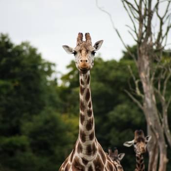 Giraffe Near Green Leaved Tress Shallow Focus Photograph during Daytime #40925