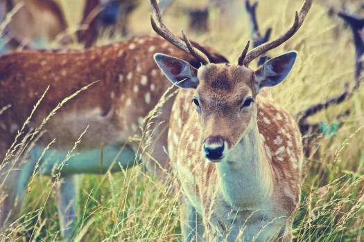 Deer Antlers Grass Field Free Photo #409284