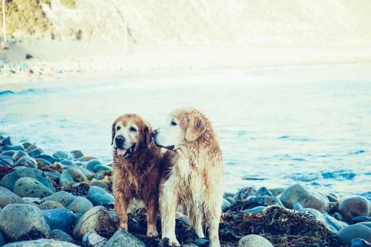 Golden Retriever Dogs Free Photo #409301