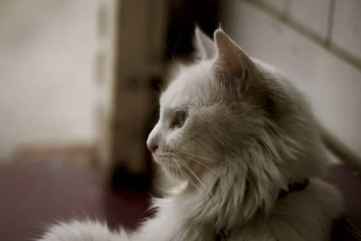 White Long Coat Cat #40982