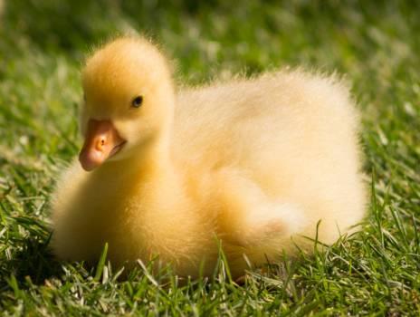 Bird yellow cute grass Free Photo