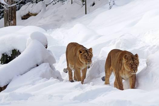 Lions Snow #409969