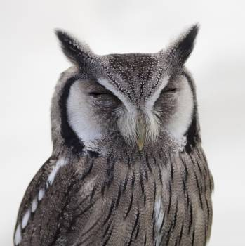 Gray White Snow Spotted Owl Close Up Photo Free Photo