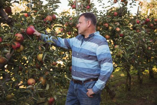 Farmer looking at apples #410460