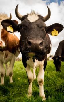 Cows Face #410881