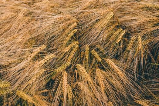 Brown Malt Grass Free Photo