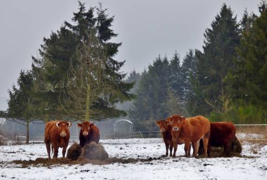 Cows Snow Landscape #411316