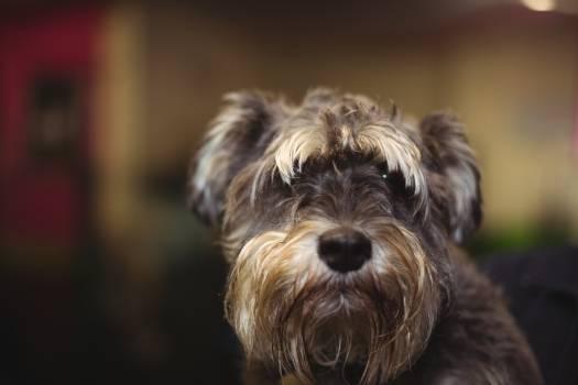 Cairn terrier puppy #411481