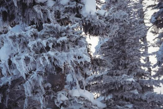 Snow covered pine trees on the alp mountain #411804