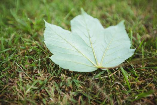 Maple leaf fallen on green grass #412063