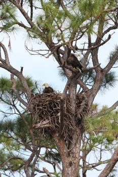 Nature Photography - Bald Eagles #412519