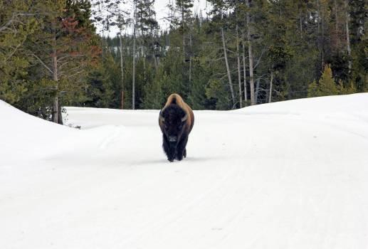 Bison #412669