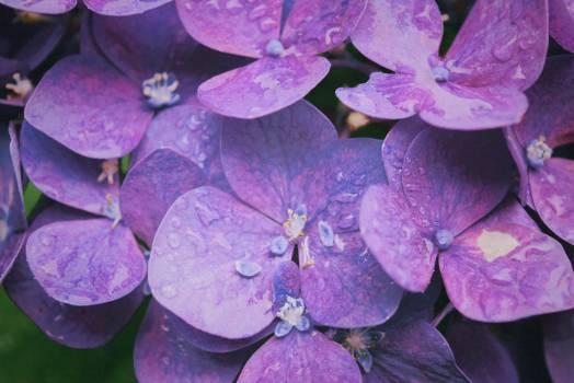Purple Hydrangeas Free Photo