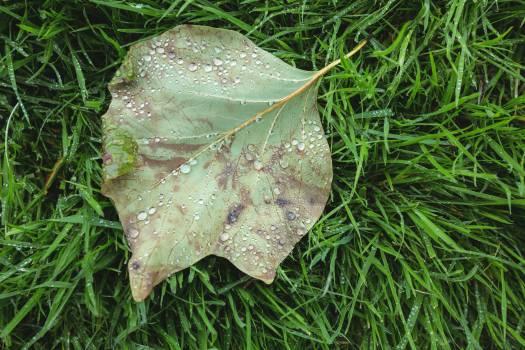 Maple leaf fallen on green grass #412913