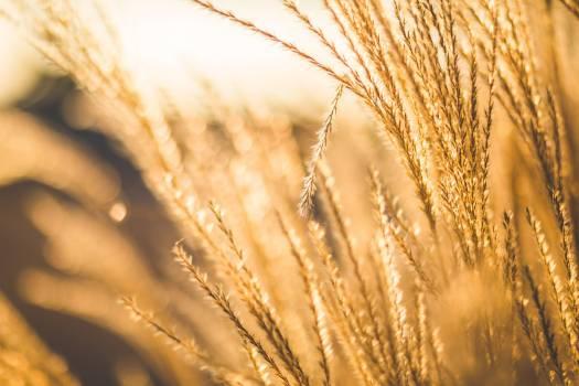 Farm Sun Glow Wheat Free Photo #413296