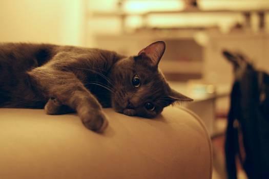 Black and Grey Short Coat Medium Cat #41376