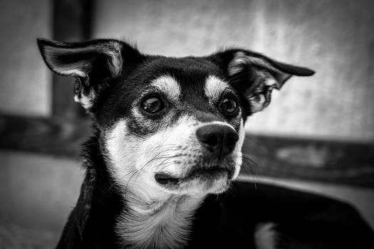 Grayscale Photography of Short Coated Dog #41383