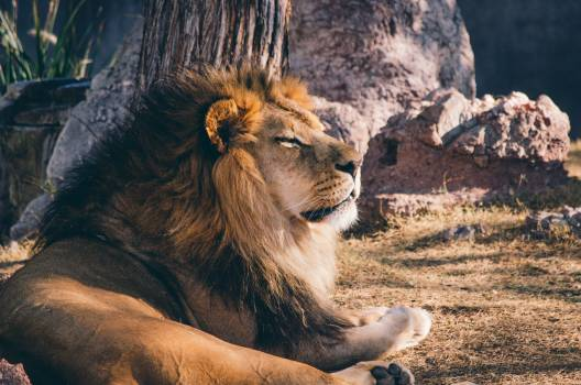 Lion Animal African #414272