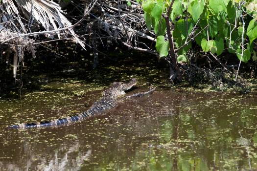 Wildlife Photography - Alligators Free Photo