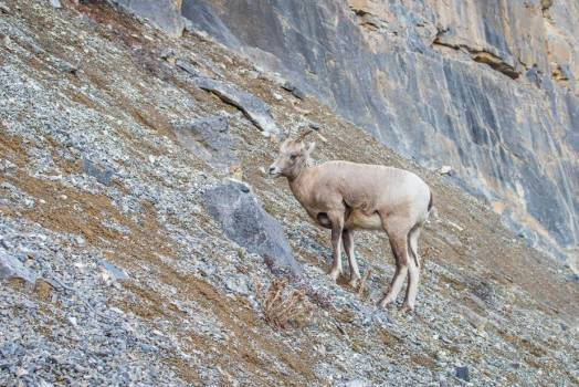 Young Mountain Goat Perched Atop Rocky Hillside #414961