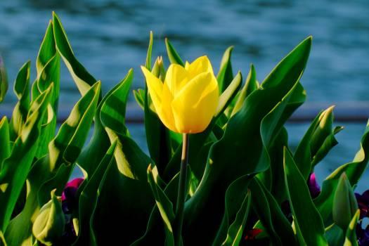 tulip #415199
