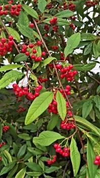 shrub #415398