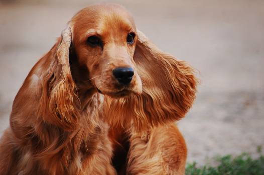 Cocker spaniel Spaniel Sporting dog #415401