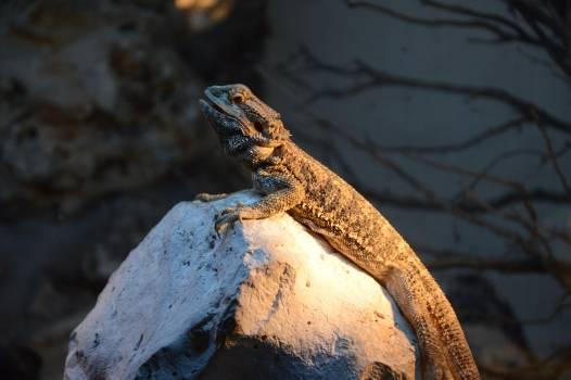 lizard #415424