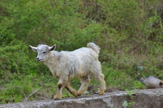 sheep #415429