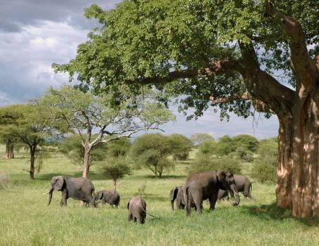 Gray Elephant Herd Under Green Tree on Green Grass Fields during Daytime #41545