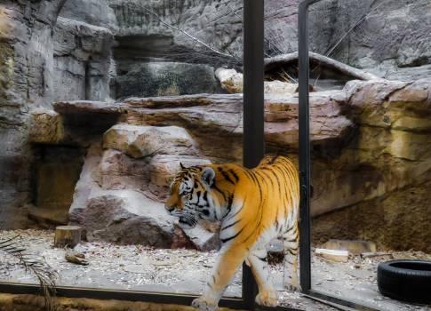 tiger #415536
