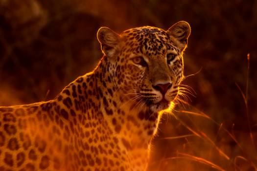leopard #415540