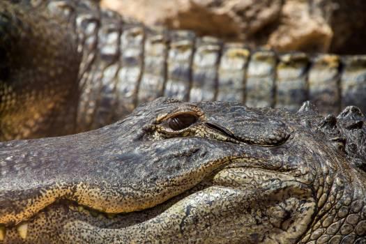 alligator #415565