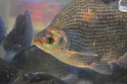 sunfish Free Photo