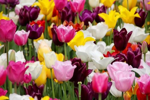 tulip #415588
