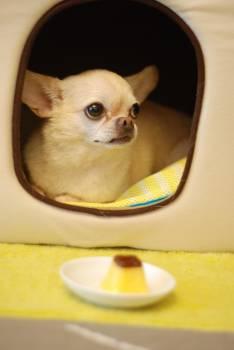 Animal canine chihuahua cute #41569