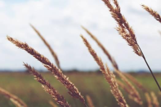 wheat #415737
