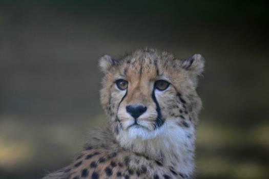 cheetah #415743