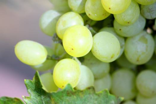 grape #415767