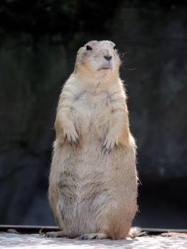 marmot #415827